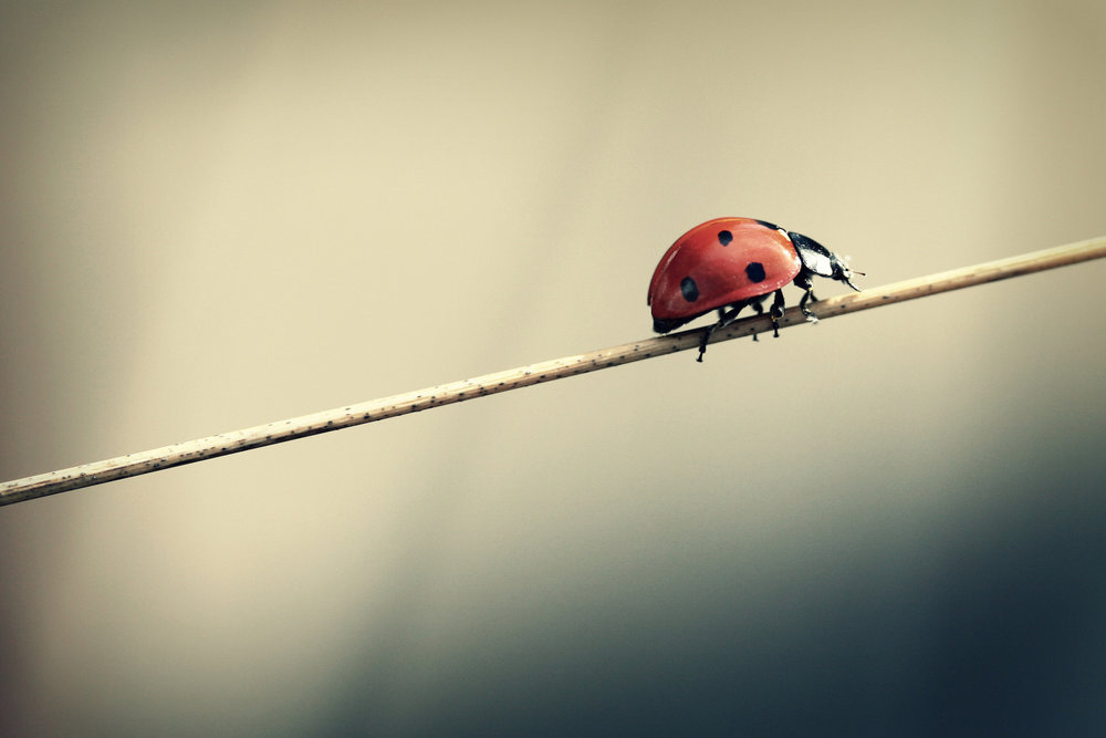 Asian ladybeetles are one of the critters that will most likely make their way into your home this winter in preparation for winter. (Frank/Creative Commons)