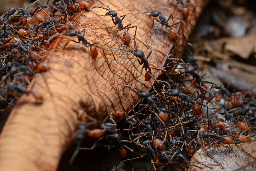 Some of the most beloved ants include the army ants, which have been studied by scientists for centuries because of their nomadic swarming behaviors and the countless organisms that depend on them for survival: mites, beetles and birds, just to name a few. (Geoff Gallice/Wikimedia Creative Commons)