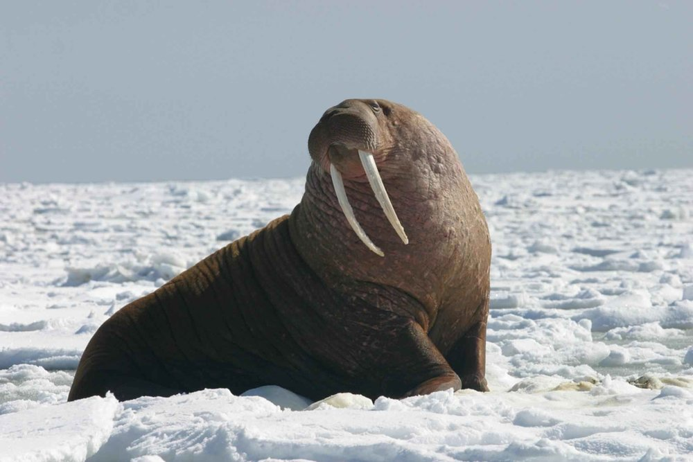 Right now, Pacific walruses are being threatened by a loss of habitat due to sea ice melting, a factor that clearly qualifies it to be listed as an endangered species; so why was it declined?(Joel Garlich Miller, U.S. Fish and Wildlife Service/Wikimedia Creative Commons)