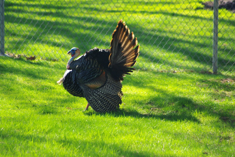 On this particular Weird Wednesday, we're talking turkey. ( Chris Luczkow /Flickr, Creative Common)