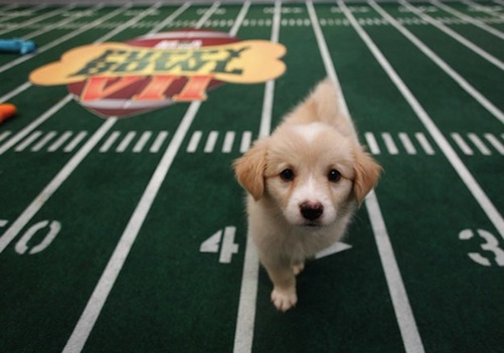 The Puppy Bowl airs on Sunday, February 4 at 3 p.m. before the Super Bowl later that night, featuring the battle between Team Ruff and Team Fluff. ( Movies in LA /Flickr Creative Commons)