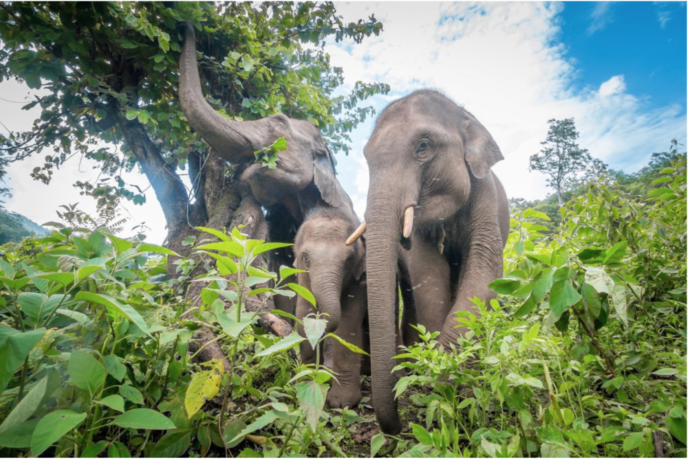 The application deadline for the Asian Elephant Compassionate Conservation field course in which students work with an ongoing research program that helps return elephants to the wild in Thailand for summer 2018 has been extended until March 1. (photo via Institute for Compassionate Conservation)