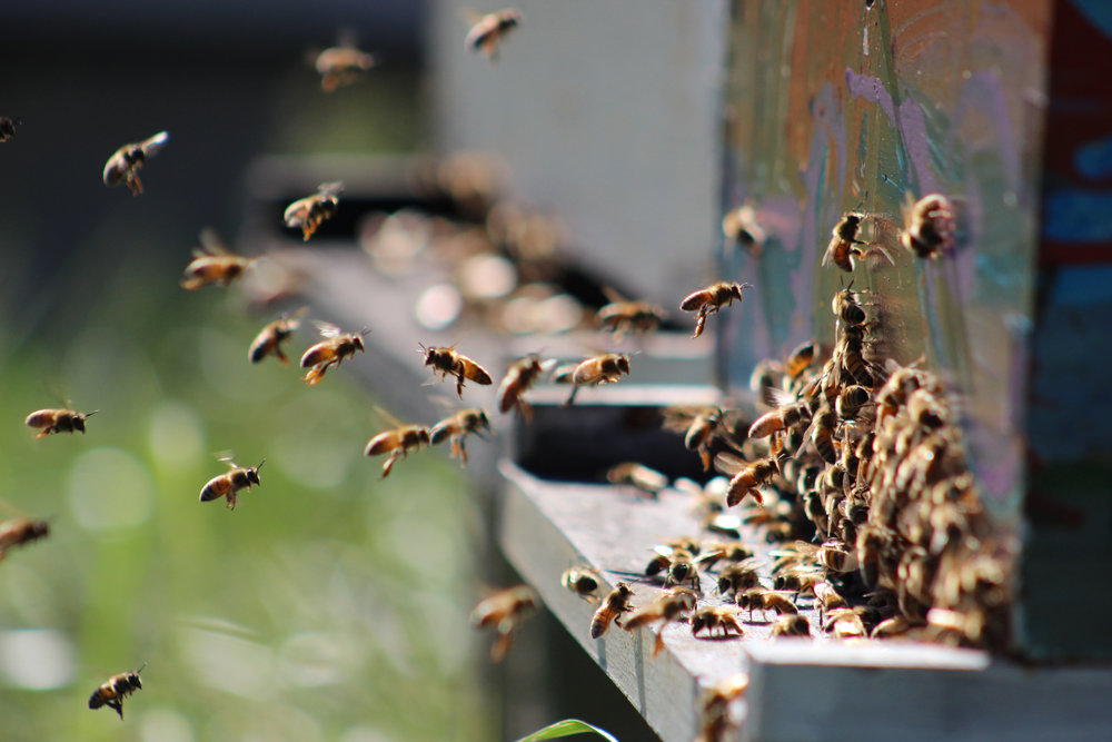 Bees play an essential role within the contexts of food production and environmental stability. Besides honey, bees factor into the growth of over 90 flowering crops and the widespread availability of grocery store food on shelves. (Josh Stanavage/The Daily Campus)