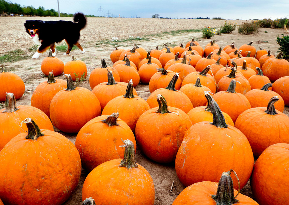 A dog takes a look at pumpkins on an field near Frankfurt, Germany, Thursday, Sept.13, 2018. (AP Photo/Michael Probst)