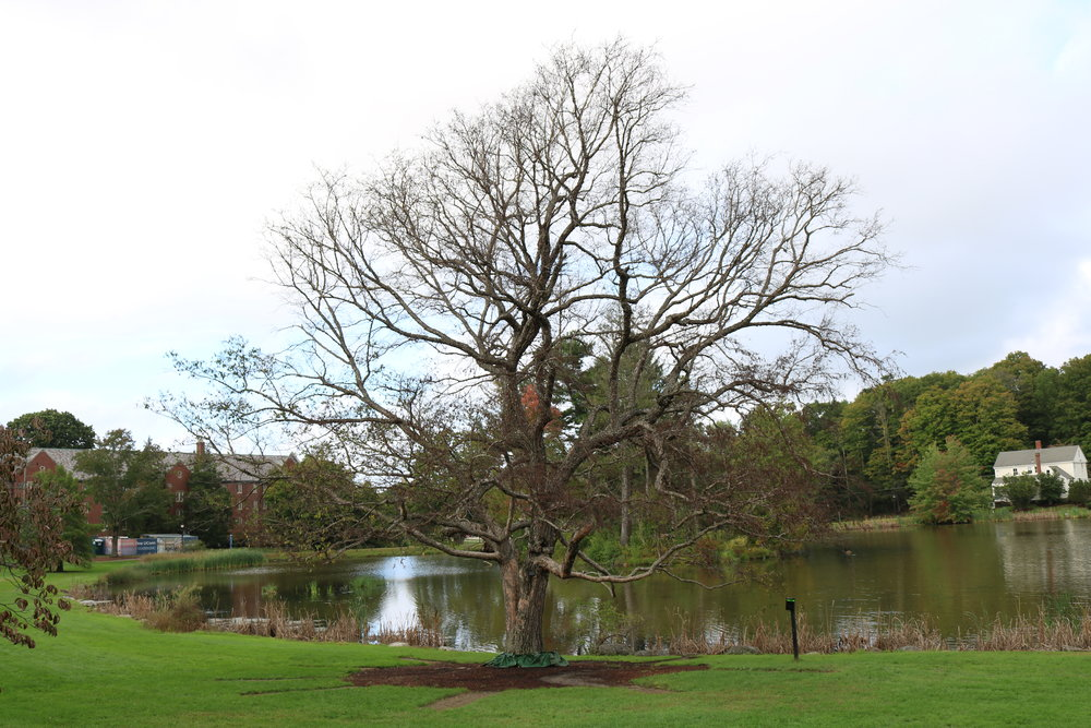 The iconic swing tree's days are numbered. (Vanita Patel/ The Daily Campus)