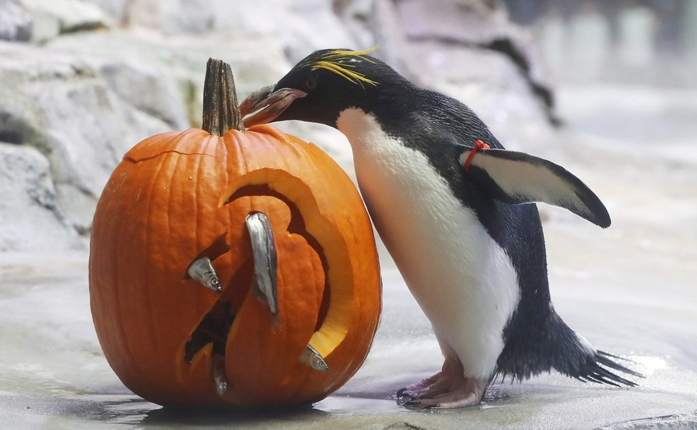 A Macaroni Penguin looks over a fish themed pumpkin at the Detroit Zoo, Wednesday, Oct. 10, 2018, in Royal Oak, Mich. Each year in October as Halloween approaches, some of the animals receive pumpkins filled with treats to eat during the zoo's annual Smashing Pumpkins event. The enrichment items are hidden through out the animals' habitats or prepared and placed in a manner to stimulate natural behaviors. (AP Photo/Carlos Osorio)