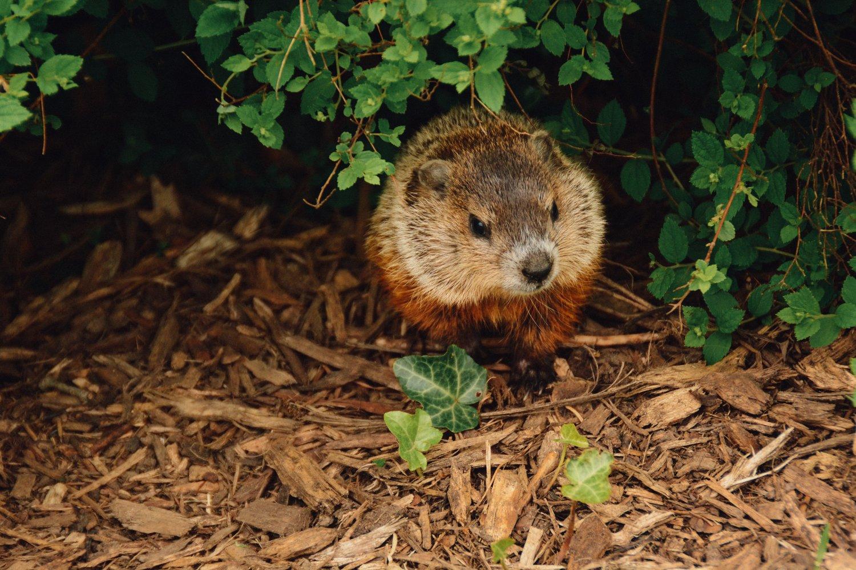 UConn's Silent Groundhog Turf War: An investigative report