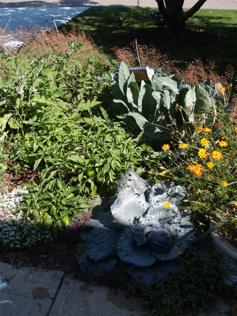 Situate things based on rate of use. Place annual veggies and herbs close to the house so you can tend them often. This landscape includes purple cabbage, bell peppers, broccoli, sweet basil, and a variety of ornamentals.