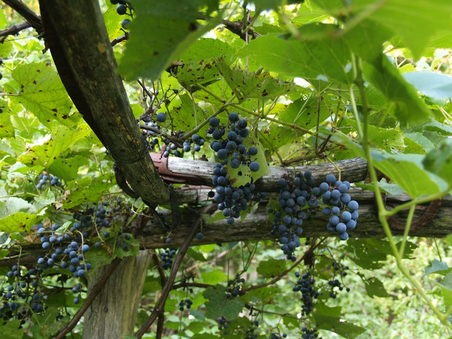 Vines provide shade on hot summer days and yield a bounty of anti-oxidant rich fruit, like these beautiful grapes!