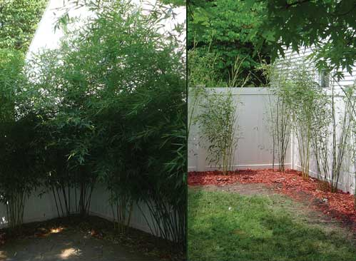 Hardy bamboo can be grown in zone 5... running types, like this one (Phyllostachys spp.), produce edible spring shoots and create excellent privacy barriers, but be careful-- they live up to their name! Photo courtesy Michigan Bamboo
