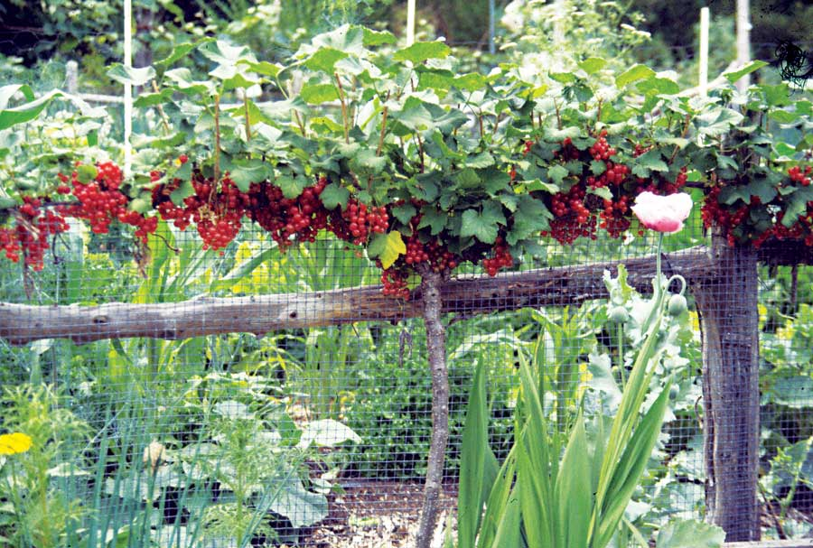 Red currant espaliered on fence... bright red berries hang like jewels. Photo Courtesy www.leereich.com