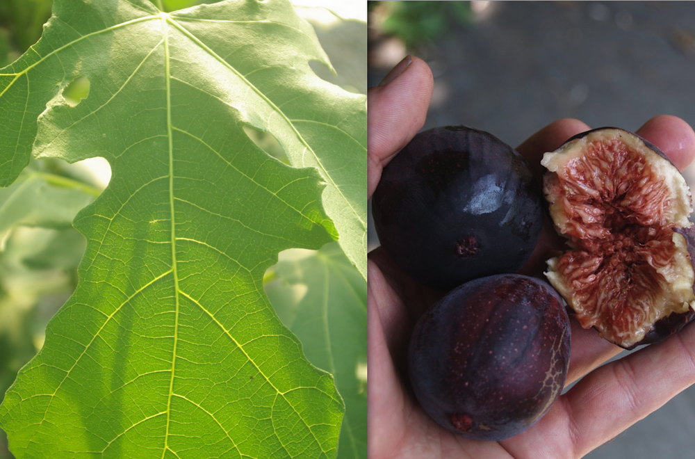 L: Fig trees have magnificent lobed leaves that add character to any planting. R: With special care tasty figs can be grown even in zone 6!