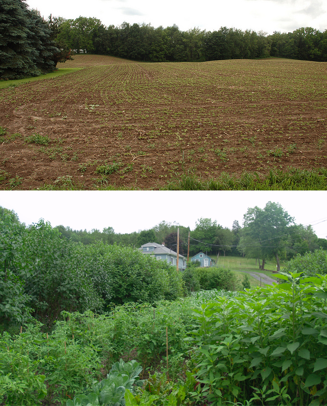 Above: Typical monoculture field in the midwest, where one species is grown across many acres of land, soil is exposed for most of the year, and erosion & runoff are high. Below: A polyculture where many species are grown in symbiosis, increasing the net yield of this small parcel, and holding soil in place with perennial roots — and much more!