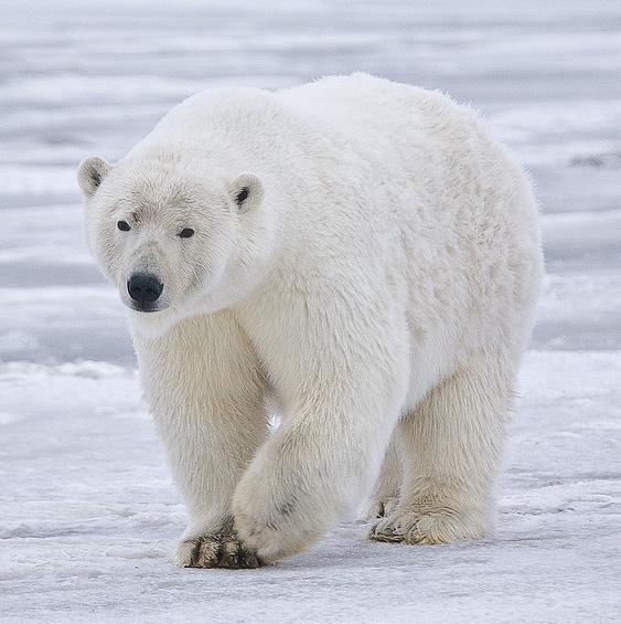 The mighty polar bear: nature's greatest icebreaker?