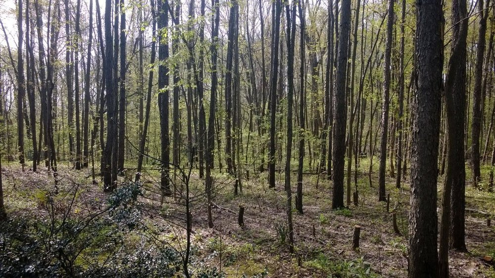 Native vegetation returning to a timber stand after invasive species removal