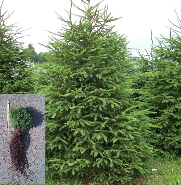 Conifers w seedling bundle.jpg