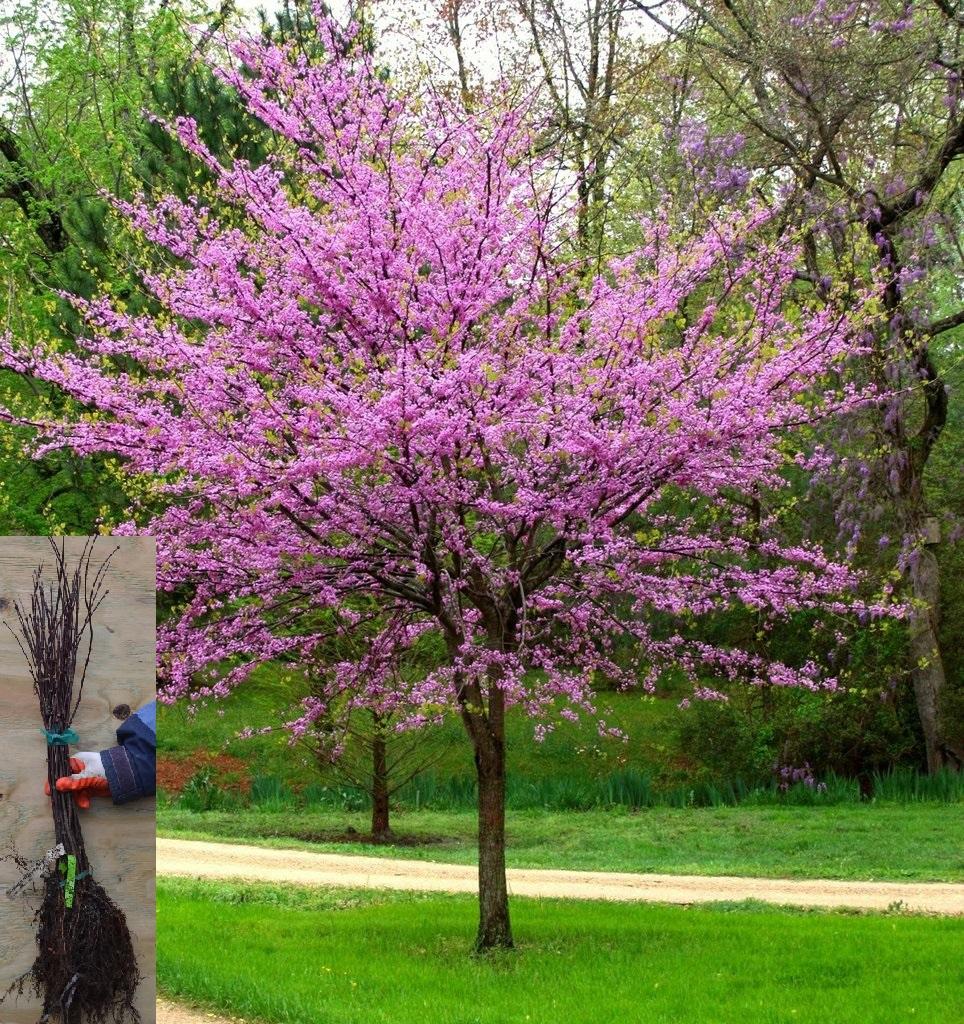 eastern redbud tree with bundle2.jpg