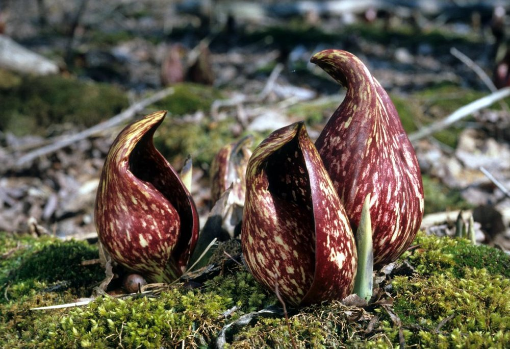skunk cabbage.jpg