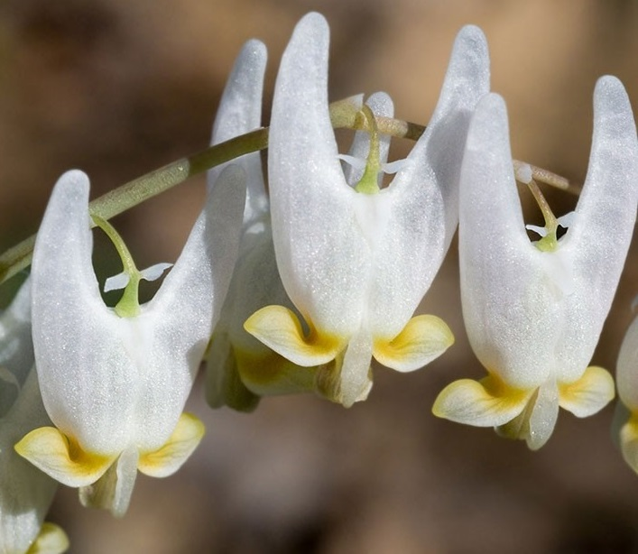 dutchmans-breeches.jpg