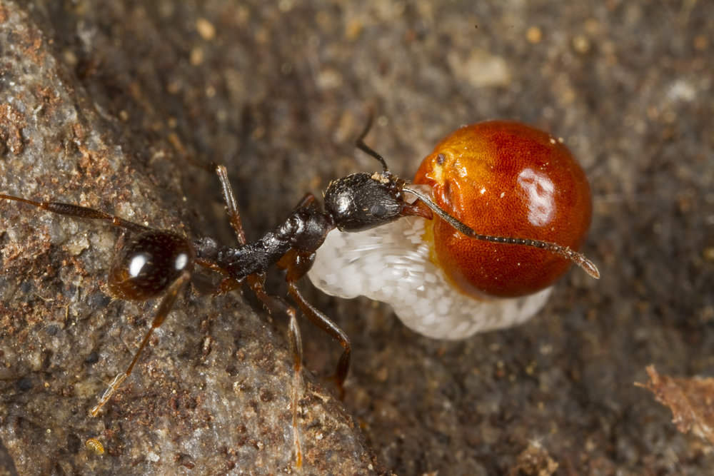 ant-carrying-bloodroot-seed-1.jpg