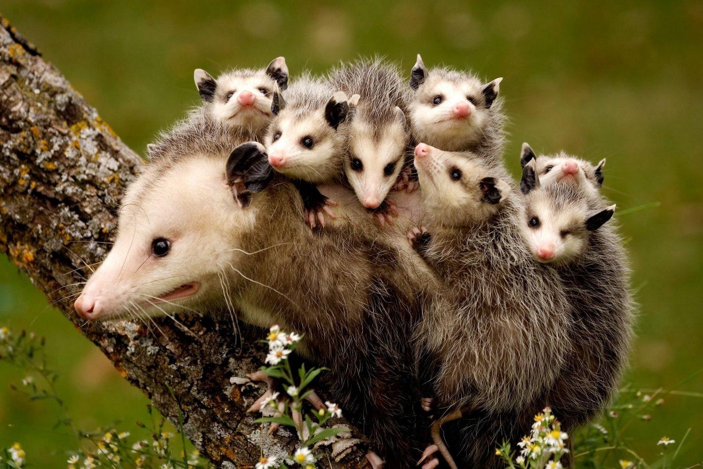 Opossum — Oceana Conservation District
