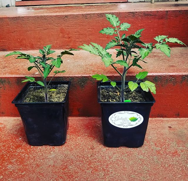 Second update from out Cherry Tomato trial. These two plants were both started from seed at the same time and planted in the same soil. The Tomato on the right was treated with Mothers Milk, the Tomato on the left was not 🌱  Minerals are a crucial component that many farmers overlook. Here we see the difference of what happens when you have the right minerals available to your plants. Bigger, stronger, healthier crops🌲  Visit our website for more information, link in the bio🌿 . . . #organic #tomato #trial #MothersMilk #organicgardening #organicfarming #notill #livingsoil #indoor #outdoor #greenhouse #thc #cbd #terpenes #cannabis #cannabiscommunity #hemp #growyourown #greens #ReapWhatYouSow #GoliathGrow