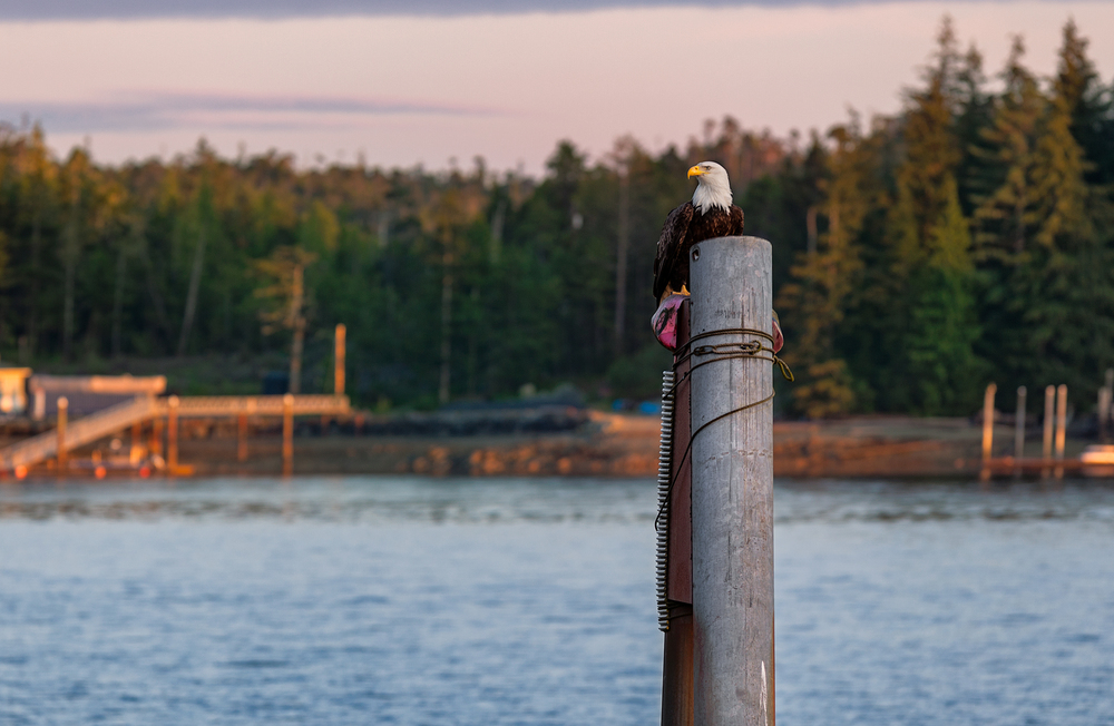 While shooting, a bald eagle came up and practically posed for me