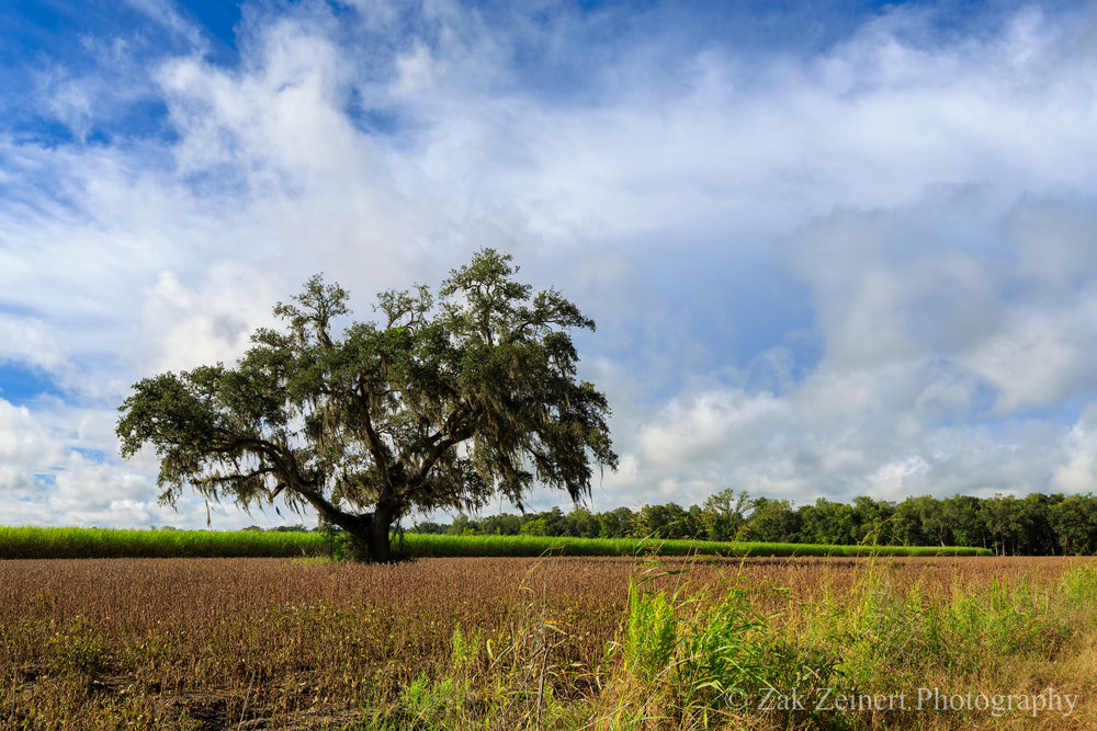 Beautiful tree in the middle of a cane field.