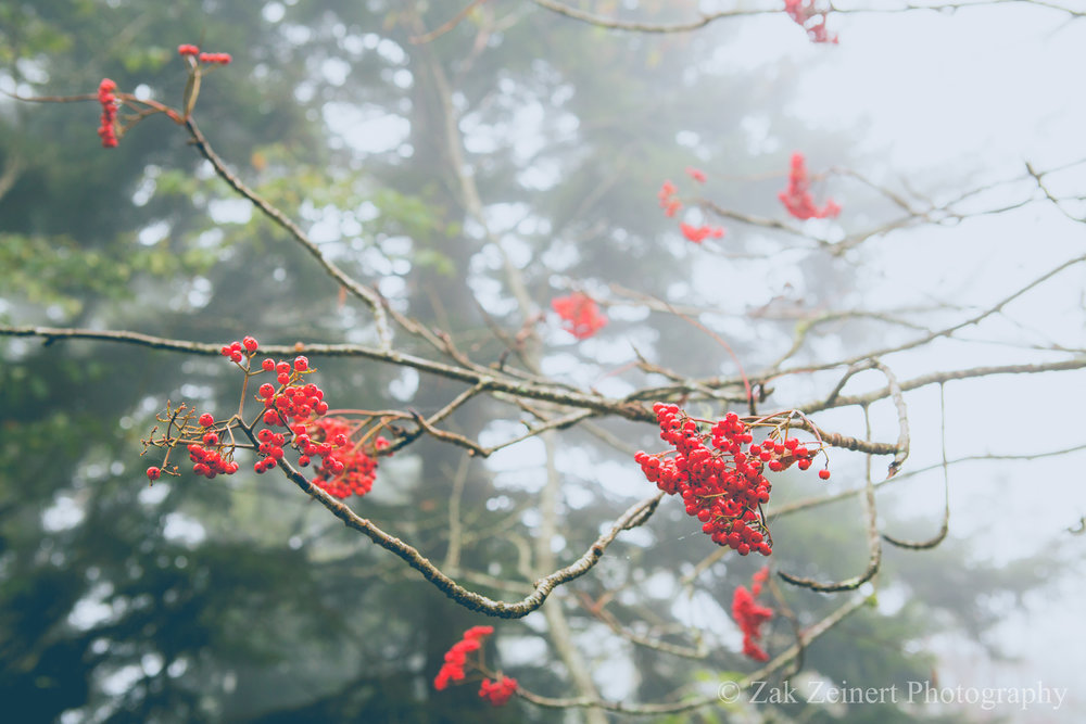These red berries really stood out again the foggy backdrop