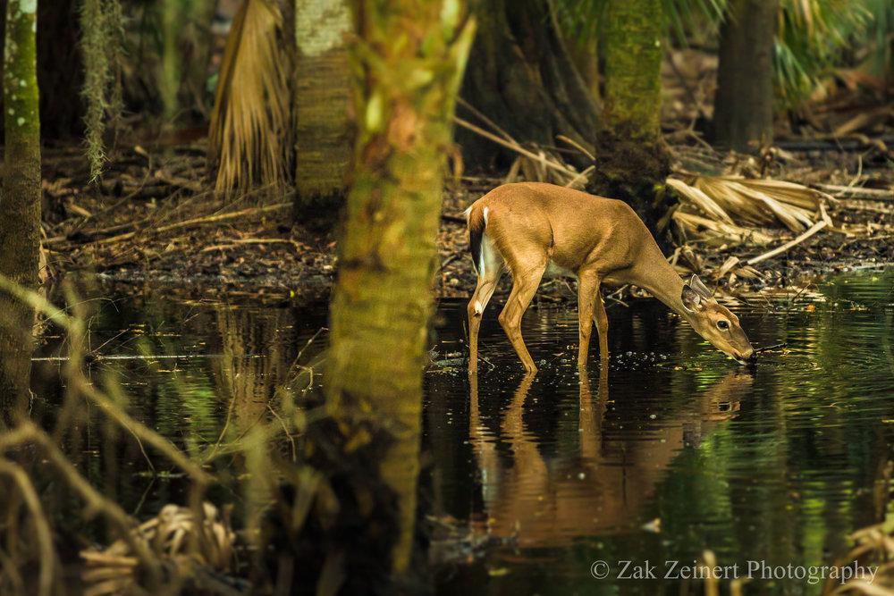 Myakka River - Deer.jpg