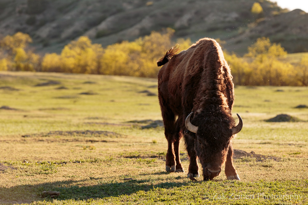 A bison grazes  just north of Cottonwood Campground on the 36-mile loop