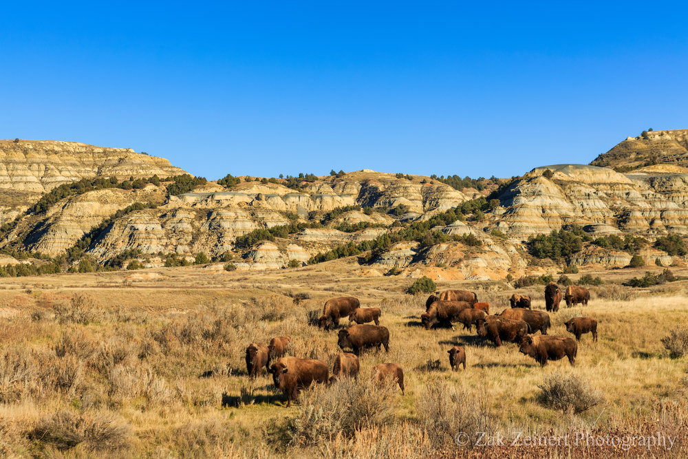 Buffalo graze against the backdrop of the badlands in the North Unit