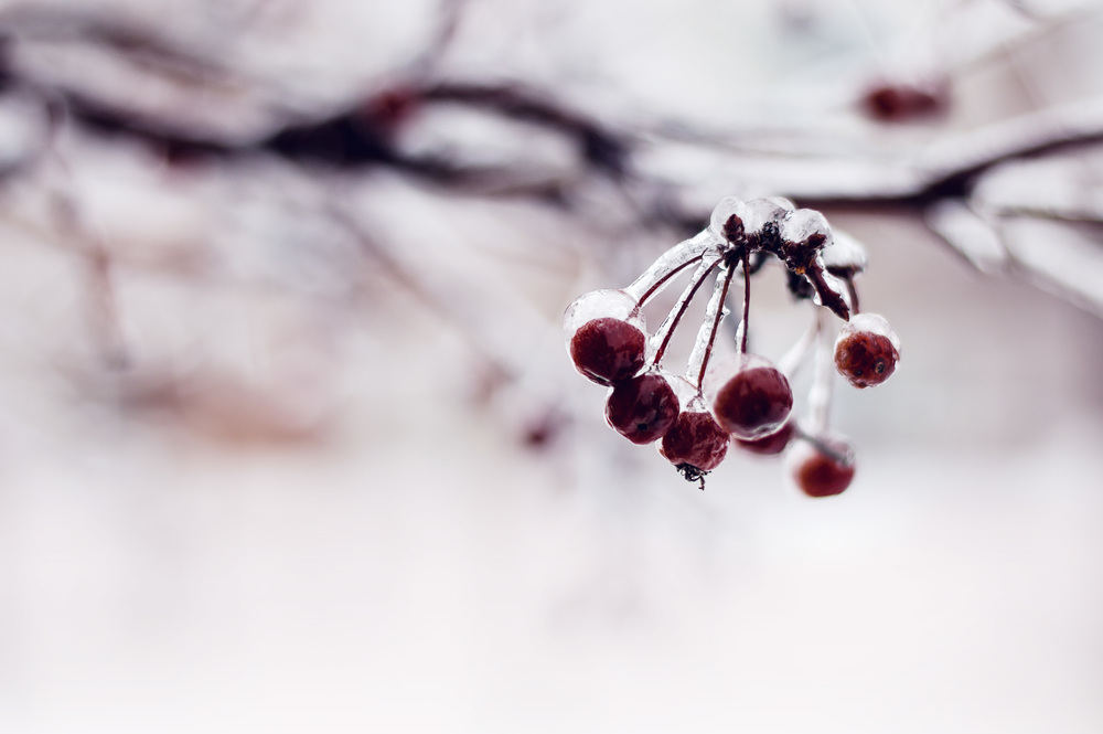 Winter Berries © Deena Roth Photography