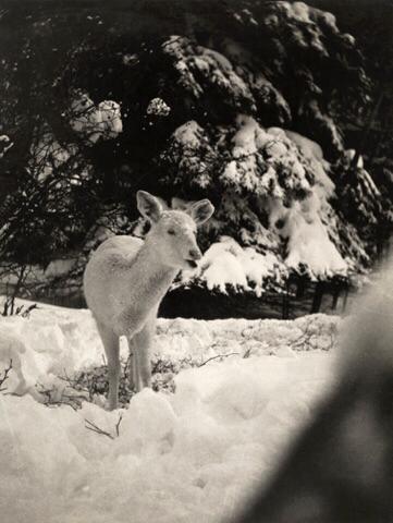 George Shiras, white fawn, ca. 1902
