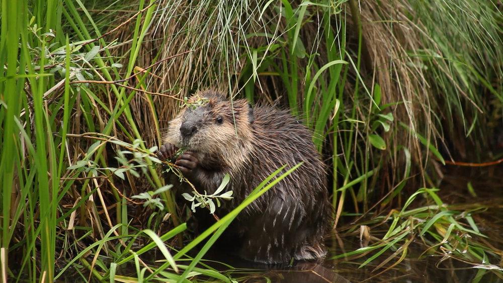 Beaver Nibbling.jpeg