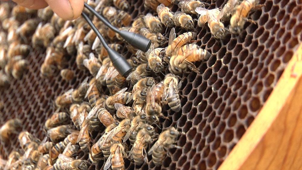 Bee_SharpSTILL_Queen_laying.jpg