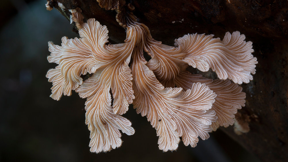 THE KINGDOM_Schizophyllum_commune2.jpg