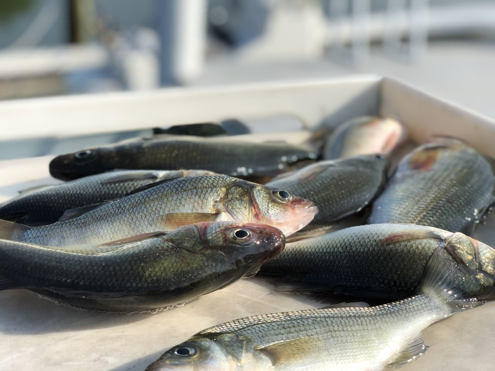Perch - Can make a great fish fry!