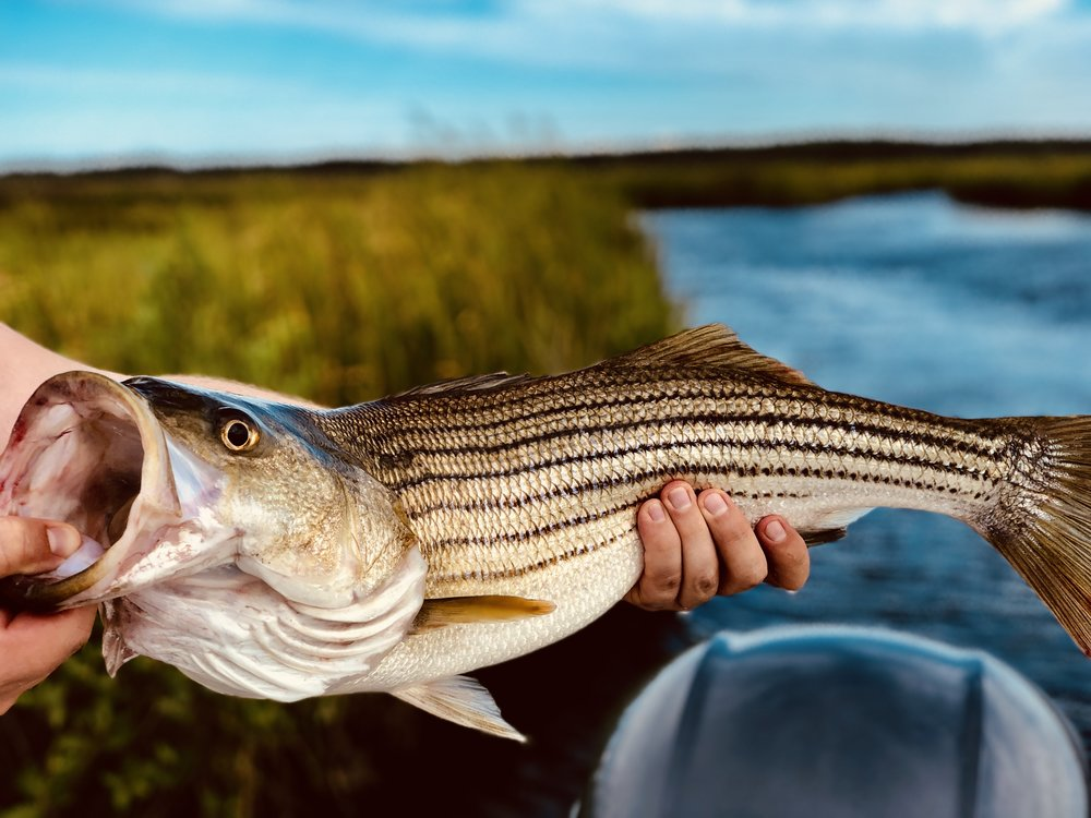 Nice striped bass fishing the backcreeks.