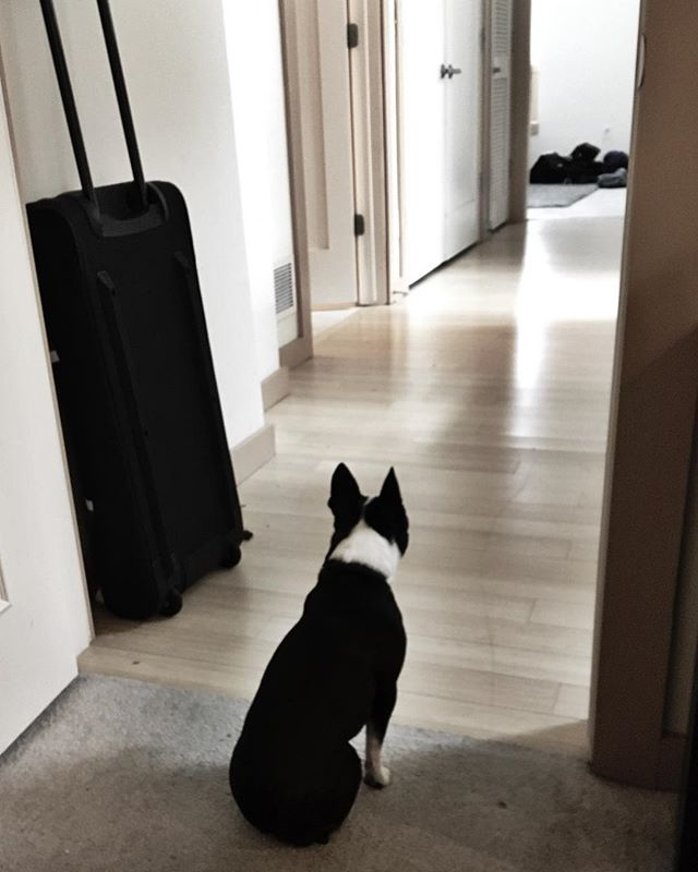 I'm busy packing, she's busy fiercely guarding my room from those who wish to disturb. Or maybe she is just bored. #guarddog #bostonterrier #dogsofinstagram
