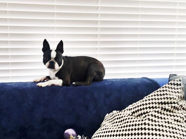 Always sitting on top. #bostonterrier #dogsofinstagram