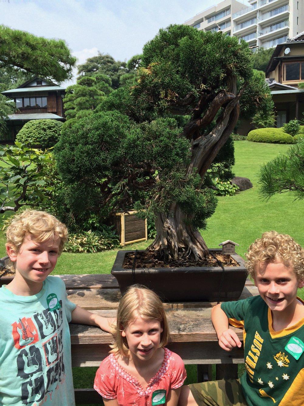 Tokyo ancient bonsai tree