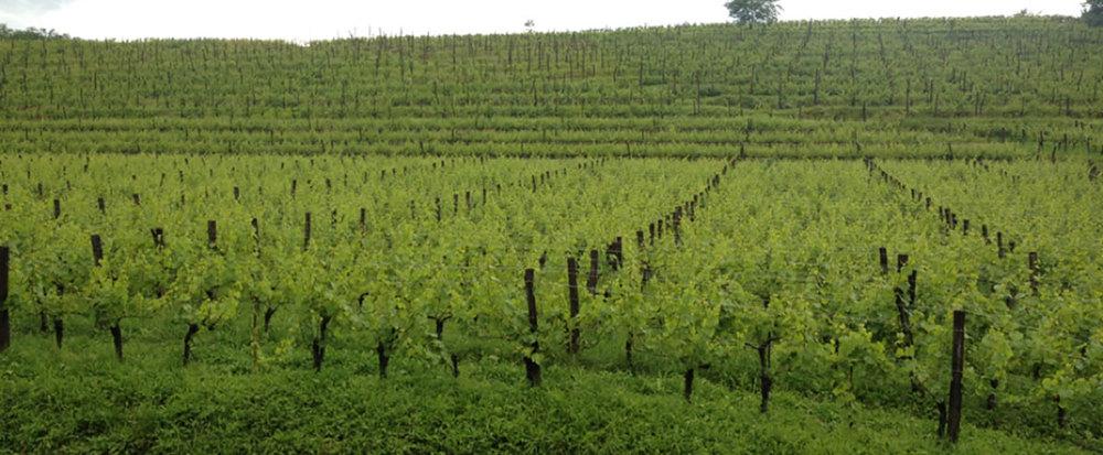 vinogradmlecnik.jpg