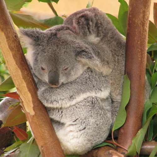 Ahhh, a baby koala.