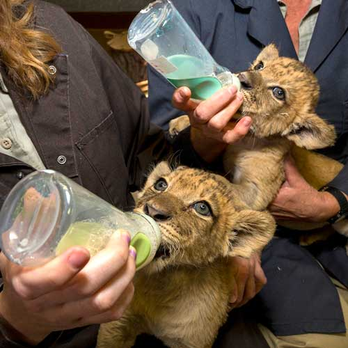 So cute, baby lion cubs at Safari Park San Diego