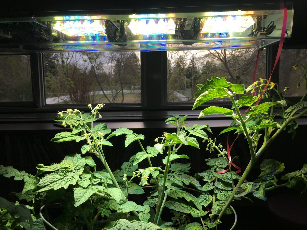 Perihelion grow light with a tomoato plant grown indoors.