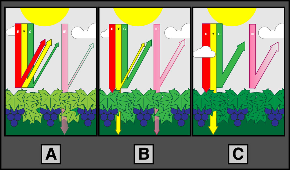 A general depiction of how photosynthetic foliage interacts with wavelengths in the red, yellow, green, and infrared ranges.    - A -  Foliage of plants under stress  transmits   more IR ,  reflects   less green & IR  and  more red   & yellow .  - B -  Under relatively balanced stress conditions, foliage  absorbs   red ,  reflects   green ,  transmits   less   and   reflects   more IR,  and  transmits   most yellow .  - C -  Under healthy, vigorous conditions, foliage  strongly   absorbs   red,  and  strongly reflects   green and IR . Yellow is  almost completely   transmitted  .