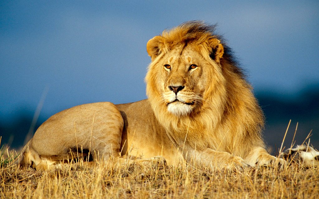 Male lions aren't lazy after all  They are actually more efficient