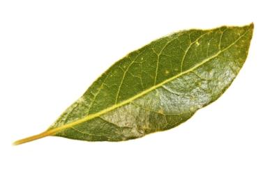 bay leaf 2.jpg