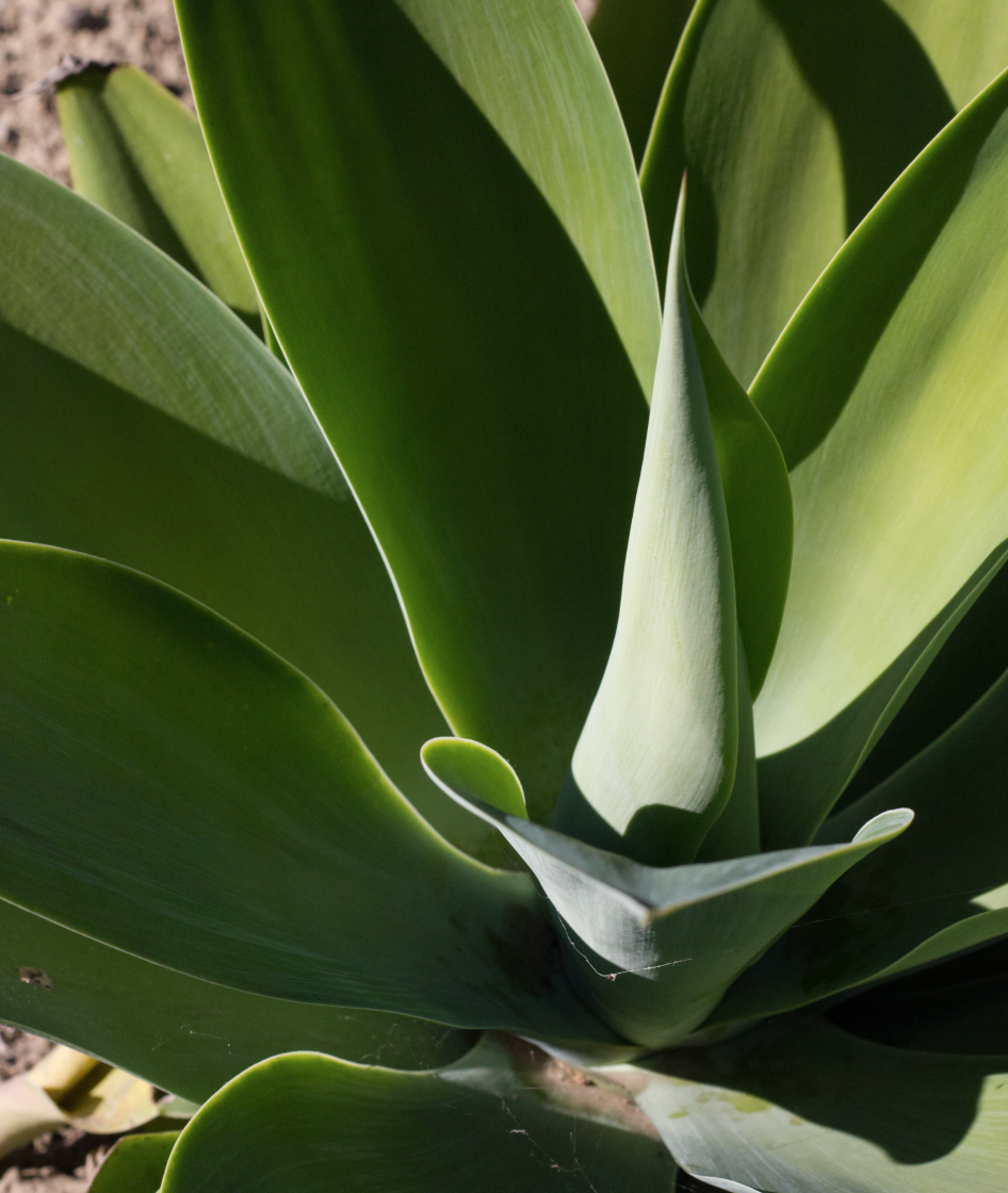 agave by leah pellegrini.png
